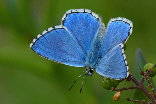 The adonis blue is a butterfly found in chalk downland, in warm sheltered spots, flying low over vegetation